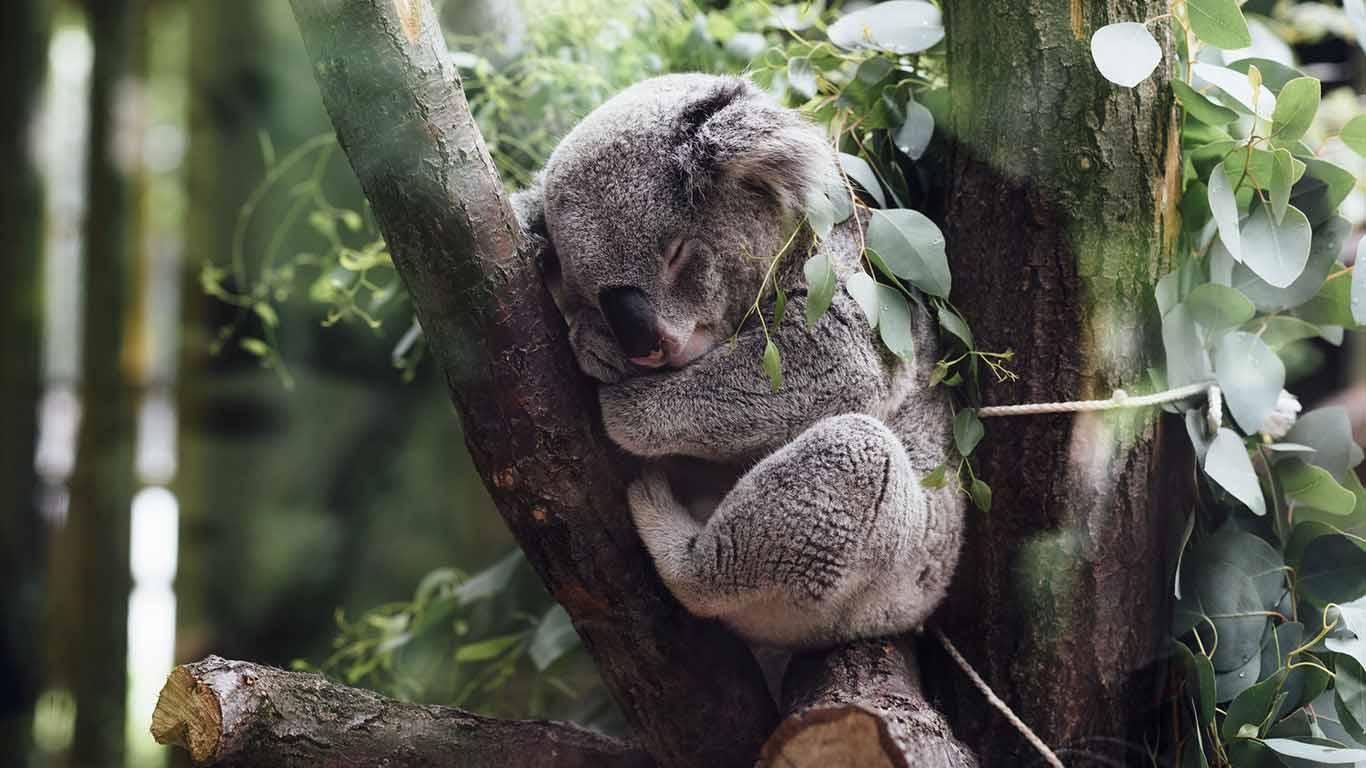 Insonnia koala